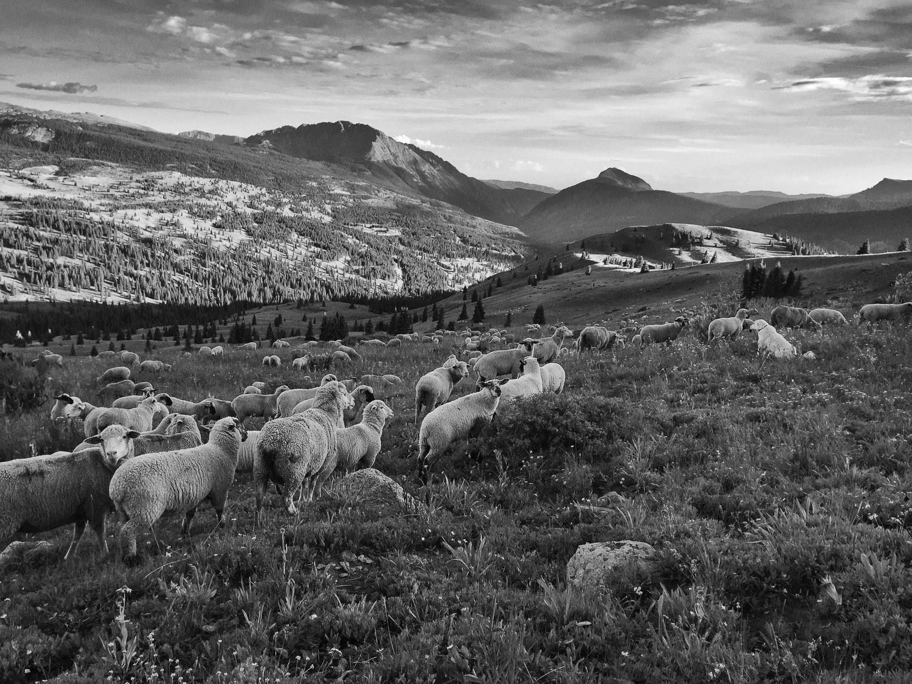 Molas Pass Sheep